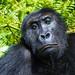 Adult Grauer's Gorilla posing