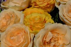 Rosenmontag (Sockenhummel) Tags: rosen rosenstraus blumen gelb macro upclose blüten fuji x30 fujifilm finepix fujix30