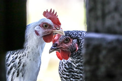 don't believe that all chickens are chicken (I was blind now I see!) Tags: chickens chicken bouncers menacing staring inquisitive looking animals birds beaks look feathers barn shed light portraits gang
