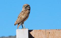 Burrowing Owl (Athene cunicularia); Los Lunas, NM [Lou Feltz] (deserttoad) Tags: nature newmexico bird wildbird raptor owl desert behavior