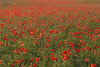 Poppies Forever (Damien Taylor) Tags: poppy poppies poppyfield nohorizon painterly