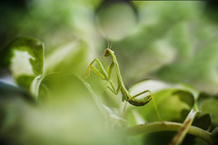 Little Dude (55randomclicks) Tags: praying mantis