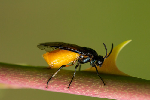Sawfly on a Briar