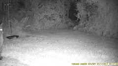 TrailCam362 (ohange2008) Tags: trailcam essexgarden dogfood peanuts pizzacrust july cat badger