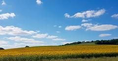 Paysage gersois, champ de tournesols (Gers Gascogne Tourisme) Tags: gers tourismegers tournesols champ campagne culture agriculture fleur fleurs tournesol jaune
