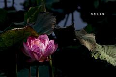 D67_0080 (brook1979) Tags: 植物園 台北市 荷花 花 蓮 蓮花 葉 荷葉 lotus flower