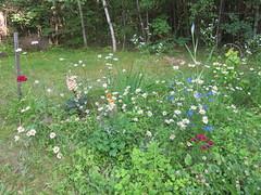 A Corner Of My Weedy Garden (amyboemig) Tags: flower garden july daisy foxglove africandaisy delphinium summer