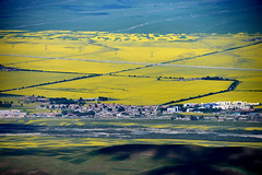 Rapeseed flowers and wheat field 油菜花麥田 (MelindaChan ^..^) Tags: rapeseed flowers wheat field 油菜花麥田 油菜花 田 花 麥田 qinghai china 青海 門源 yellow chanmelmel mel melinda melindachan agriculture plant plantation life village