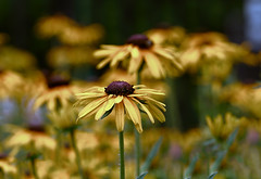 yellow summer flowers (*Millie*-Trying to catch up, slowly!) Tags: blackeyedsusan flower flowers nature depthoffield beautiful yellow outdoors field summer