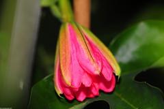 Passiflora Flower - Wilgen K Verhoeff (_pkm_photography (thanks for 750K views)) Tags: pkmphotography2017 dslr nikon d700 nikond700 tokina atxprotokinamacro100f28d sooc passiflora