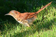 Brown Thrasher (NaturalLight) Tags: brownthrasher chisholmcreekpark wichita kansas