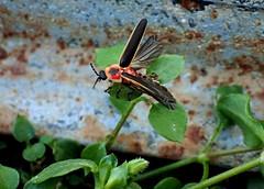 Female Firefly Photinus species (Bugldy99) Tags: animal arthropod arthropoda hexapod hexapoda coleoptera beetle firefly lightningbug