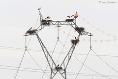 Modern Nature (Rob Blanken) Tags: whitestork ooievaar ciconiaciconia