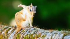 Hello everybody (YᗩSᗰIᘉᗴ HᗴᘉS +7 000 000 thx❀) Tags: squirrel écureuil animal nature panasonicdmcgx8 panasonic animaux green lahulpe belgium belgique wild sauvage
