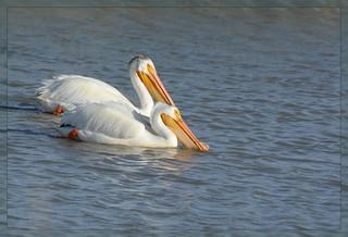 <><><> Pelicans Spring Promenade - I. <><><>