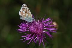 Bläuling (Hugo von Schreck) Tags: hugovonschreck schmetterling bläuling falter butterfly macro makro insect insekt canoneos5dsr yourbestoftoday tamron28300mmf3563divcpzda010