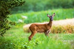 Halbstark (stef7612) Tags: felder rehwild wald wiese wildlife spieser natur nature roedeer roebuck capreoluscapreolus bayern bavaria bavarianwildlife tier animal forest rehbock bock