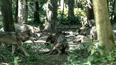 Wölfe....Hunger....Part II (st.weber71) Tags: anholterscheiz wildpark wölfe wolfsrudel tiere raubtiere verteidigung nrw germany deutschland natur nikon d800