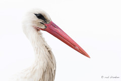 Deadly weapon (Rob Blanken) Tags: stork ooievaar weapon beak