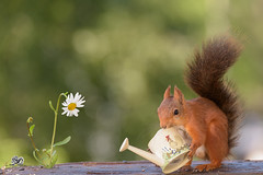 squirrel holding a  water can and a daisy (Geert Weggen) Tags: mammal rodent squirrel nature animal red flower perennial closeup cute plant funny happy summer ground spring bright light tender love sun redsquirrel horizontal environmentalconservation planetspace planetearth backgrounds colorimage conceptstopics day environment birth environmentaldamage environmentalissues global ideas newlife nopeople photography pollution earthday wateringcan caster moulder wateringpot molder watercan daisy sweden geert geertweggenhardekozweden jämtland ragunda bispgården