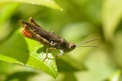Grasshopper (suekelly52) Tags: grasshopper