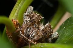 (Matt Claghorn) Tags: spider neoscona orbweaver ohiospiders tokina100mmf28 nikond50