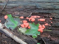 Raspberry Slime Mold (Michael A2012) Tags: raspberry slime mold