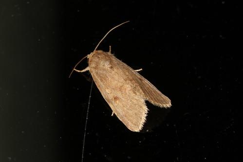 Spodoptera sp.