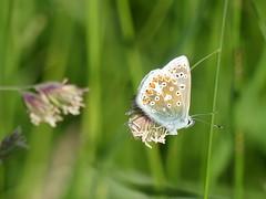 COMMON BLUE  P1260238 (ianpreston) Tags: 2017 northumberland northeastcoast eastcoast commonblue butterfly lindasfarne