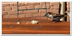 She ... looking at him looking for the bread (Badenfocus_Thanks for 820k views) Tags: badenfocus spatzen fujifilmx20 brot bornstedt krongutbornstedt tisch sparrows vögel birds