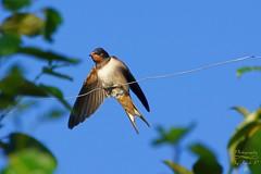 Barn swallow. (Jurek.P) Tags: birds ptaki swallow jaskółka barnswallow dymówka mazury masuria poland polska nature natura jurekp sonya77