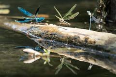 Dragonflys (boomer_phil) Tags: dragonflys beautifulexpression flickrelite nikon d500 extérieur couleurs libellules reflets water eau reflexion