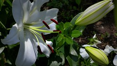 Biała lilia +. (andrzejskałuba) Tags: polska poland pieszyce dolnyśląsk silesia sudety europe panasonic lumix fz200 roślina plant kwiat flower lily lilia biały white ogród garden zieleń green natura nature 100v10f