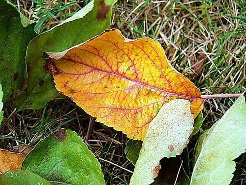 2017-07-30 garden (41)orange dead leaf