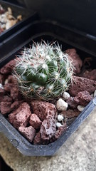 Mammillaria zeilmanniana. Julio 2017 (garconwii) Tags: mammillaria zeilmanniana cactus plant