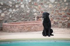 30/52 Nemo (- Una -) Tags: 52weeksfordogs nemo curly curlycoatedretriever ccr retriever curlydog dog animal blackdog blackcurlycoatedretriever