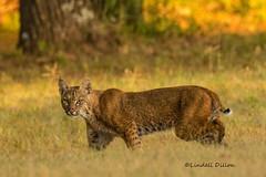 Bobcat (Lindell Dillon) Tags: bobcat wildlife nature oklahoma crosstimbers lindelldillon wildoklahoma