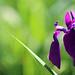Sunny portrait (debbfay) Tags: iris