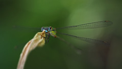 Caprichoso (Chusmaki) Tags: ngc macro insectos caballito madrid olympus omd1 60mm