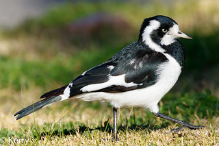 Magpie-lark Female