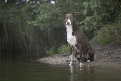 Wave the swimmer (Wiktoria Frąszczak) Tags: water wave pet dog dogphotography outdoor outside animal animalphoto bordercollie swimming summer green