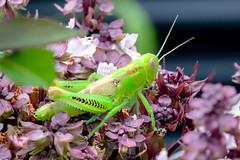 Grasshopper on my Siam Basil (scarletizm) Tags: basil flowers flower plant garden grasshopper insect green neon bug nature plants macro