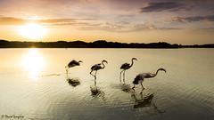 My First 500px Editor's Choice. (dasanes77) Tags: canoneos6d canonef24105mmf4lisusm tripod landscape cloudscape nature wildlife free flamingos sunrise sun dunes water lake takingoff valencia albuferaofvalencia
