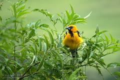 Painting Of A Yellow Bird (a.o.tucker) Tags: birds green lasirena nn38 nature nicaragua wildlife yellowbird