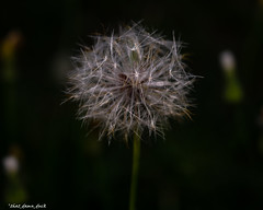 Dandelion At Night (that_damn_duck) Tags: nighttime night nature plant flower dandelion macro makeawish