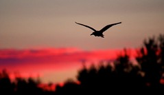 Dawn Flight (imageClear) Tags: dawn sunrise red early morning bif heron blackcrownednightheron clouds sky beauty lovely color nature aperture nikon imageclear flickr photostream