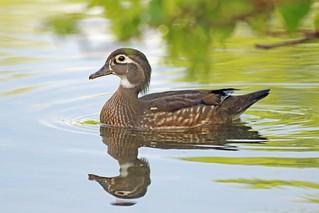 Mother Wood Duck