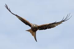 Red Kite (Simon Stobart) Tags: red kite milvus flying sky straighttocamera northengland coth5 sunrays5 ngc specanimal npc