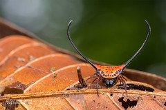 Longhorn orb weaver (Macracantha arcuata) - DSC_7506 (nickybay) Tags: malaysia sabah macro borneo borneobootcamp tawauhill macracantha arcuata longhorn orb weaver spider araneidae