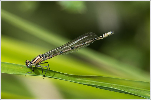 Damselfly (as yet to be identified)